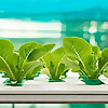 uPONICs Blog | Hydroponics and Aquaponics Information