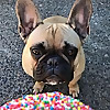 Porkypaws - Frenchie Emporium | The Best French Bulldog Blog