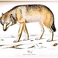 The Beauty Wolf