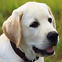 Labrador Training HQ | Everything Labrador Retriever