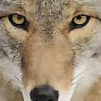 Coyote Blog