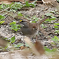 Antshrike's Bird Blog