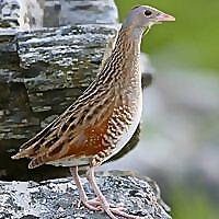 Islay Birds