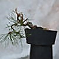 Scratch Bonsai | Developing bonsai trees from scratch