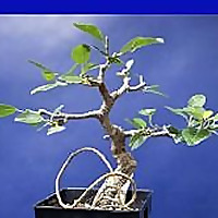 Bonsaihunk's Blog | Fig trees and tropicals as bonsai