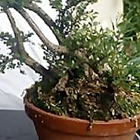 just another bonsai enthusiast