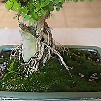 Bonsai Tree Supplies and Living Artwork