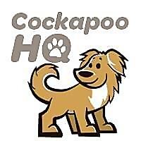 Cockapoo HQ | Cockapoo Breed information