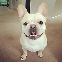 All About Frenchies French Bulldog Tips & Information
