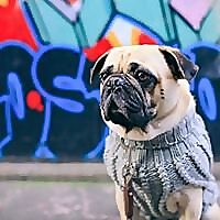 Honey, I Dressed The Pug | Pug Fashion & Lifestyle Blog