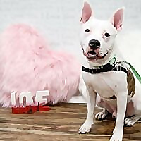 Free Wisconsin Pit bull Rescue dog Listings