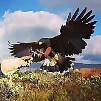 Sky Falconry Blog