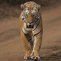 Big Cats India