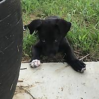 Percy The Labrador | Black Labrador | England