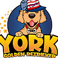 YORK Golden Retriever