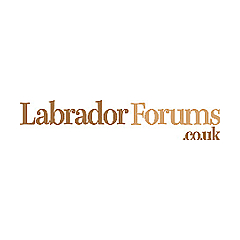 Labradors Forums