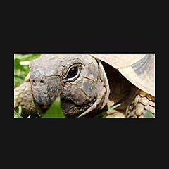 My Hermann Tortoise