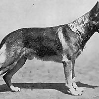 Ultimate German Shepherd Guide Blog