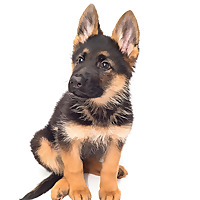 Anything German Shepherd