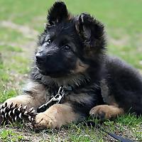 German Shepherd Fur Life