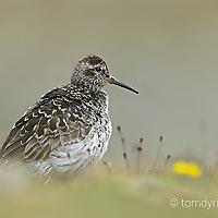 Tom Dyring Wildlife Photography.