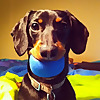 Crusoe the Celebrity Dachshund - Wiener Dog Extraordinaire
