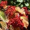 Arnold Arboretum - Plant Profiles