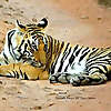 Tiger - Wildlife Blog - India