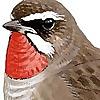Surfbirds | The World Birding Website