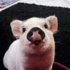 your daily pig