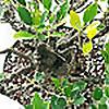The Ficus Guy