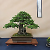 Nik Art bonsai blog