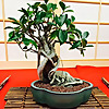 Santa Anita Bonsai Society