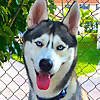 "Gohan The Husky - ""A dog is the only thing on earth that loves you more than he loves himself"