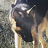 Kara a German Shepherd Adventure