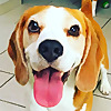 Louie The Beagle