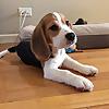 Oliver the Beagle