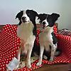 PUPS Dog Training School