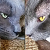 Jericho & Thunder The 2 Gray Cats
