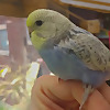 Budgie and Aviary Birds