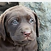 Windara Labrador Retrievers
