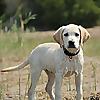Easy Retriever Training - Raise the pup and enjoy the dog!