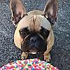 Porkypaws - Frenchie Emporium   The Best French Bulldog Blog