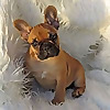 French Bulldogs LA - Blog
