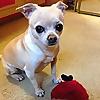 All My Chihuahuas - Blog