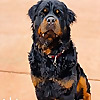 Life with Oz the Rottweiler | YouTube