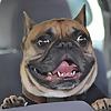 Teddy The French Bulldog