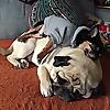 Boogie the Pug | Pug Adventure Blog