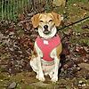 Dolly Beagle