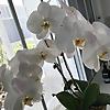 The Joyful Orchid